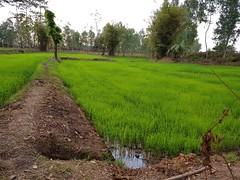 Rice Paddies in Ban Daen Mueang 1 (SierraSunrise) Tags: agriculture emerald esarn farming field green isaan nongkhai paddy paddyrice phonphisai rice ricepaddies ricepaddy thailand