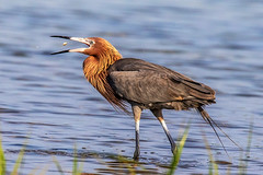 Reddish Egret Catching (dbadair) Tags: outdoor seaside shore sea morph water nature wildlife 7dm2 ef100400mm ocean canon florida bird