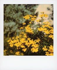 Yellow Daisies (tobysx70) Tags: polaroid originals color sx70 instant film sx70sonar sonar yellow daisies beachwood drive canyon hollywood hills los angeles la california ca daisy flower petal green leaf leaves bokeh toby hancock photography