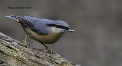 Nuthatch / Sittelle torchepot (Louis (Michel) Sinnassamy) Tags: c