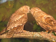 It's Love! ( a photo from the exhibition ) (VERUSHKA4) Tags: canon photography russia exhibition nature bird two couple animal fauna beak kiss love tree moscowhouseofartists february winter verdure background bokeh eyes wing amazing moment wonderful branch green brown primevalrussia wildnature