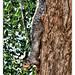 Niagara Falls NY - Eastern gray squirrel