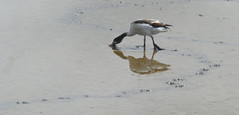 P1370046 (Pitzy's Pyx, keep snapping away!.) Tags: titchwell wells norfolk rspb rspbtitchwell