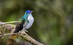 Amazilia franciae - Andean Emerald - Amazilia Andina 13 (jjarango) Tags: avesdecolombia aves avistamiento birding birdingcolombia birdwatching birdsofcolombia birds amaziliafranciae andeanemerald amaziliaandina