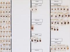 coleoptera-coccinellidae-exochomus-brumus-hyperaspis-aphidecta-R1-5647 (nmbeinvertebrata) Tags: ccbync nmbe5647 64116 coleoptera coccinellidae exochomus brumus hyperaspis aphidecta r1