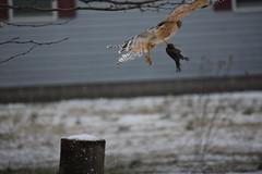 carry away (Moon Rhythm) Tags: hawk kill hunt cowbird dead food circleoflife wildlife backyard thrumywindow windowview pondgarden