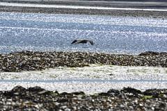 Robin Hood's Bay (122) (rs1979) Tags: greyheron heron robinhoodsbay northyorkshire yorkshire beach rockyforeshore