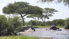 Such a Joy To Watch ... (AnyMotion) Tags: africanelephant afrikanischerelefant loxodontaafricana elephants elefanten bath bad fun spass erfrischung pool 2018 anymotion tarangirenationalpark tanzania tansania africa afrika travel reisen animal animals tiere nature natur wildlife 6d canoneos6d landscape landschaft landschaftsaufnahmen ngc npc