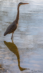 FM5A0344 (Kemp Davis) Tags: wildlife nature aquaticbird greatblueheron