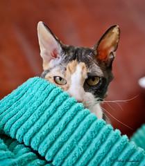 IMG_4646-1 (Helene Bassaraba) Tags: rexcornish coth5 catmoments bestofcats vg~catsgallery