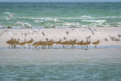 Flock of Royal terns fly over a group of Marbled Godwits on a sandbar in the Gulf of Mexico, St. Petersburg, Florida (diana_robinson) Tags: royaltern thalasseusmaximus marbledgodwit limosafedoa flockofmarbeledgodwit seabird shorebird shore sandbar beach surf birds gulfofmexico stpetersburg florida