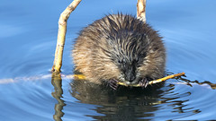 Muskrat sharpening his teeth (AmyEHunt) Tags: muskrat mammal water stick wood nature naturephotography colorado wild wildlife animal canon