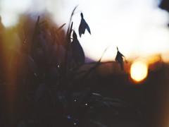 Flower Garden Evening Bokeh - 11. März 2019 - Tarbek - Schleswig-Holstein - Deutschland (torstenbehrens) Tags: flower garden evening bokeh 11 märz 2019 tarbek schleswigholstein deutschland olympus penf m42 ef 36mm f12