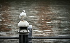 Sitting in the rain... #2019#bremen#weser#seagull#rain#water#city#cityphotography#love#photooftheday#photography#street#streetphotography#moodygrams#animal#bird#nature#explore#outdoor#urban#see#beauty#wanderlust#wandering#loveit (agnes.postma.hoogeveen) Tags: love photooftheday wanderlust loveit moodygrams beauty city streetphotography bremen see street bird cityphotography rain explore nature water wandering weser seagull outdoor 2019 urban animal photography