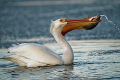 Getting Ready To Toss The Shad (dcstep) Tags: pelican feeding americanwhitepelican cherrycreekstatepark cherrycreekreservoir water lake reservoir bird sonya9 handheld fe400mmf28gmoss fe20xteleconverter allrightsreserved copyright2019davidcstephens dxophotolab220 dxoprimenoisereduction dsc9085dxo