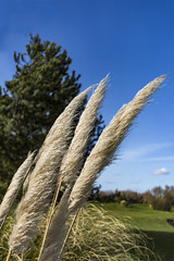 Waving in the breeze (Through Bri`s Lens) Tags: sussex worthing pampasgrass blue sky plants horticulture brianspicer canon5dmk3 canon1635f4 polariser