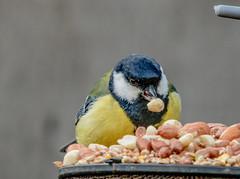 Blue Tit (O'Brien Photography) Tags: bluetit gardenbird canon750d sigma150600mm bird