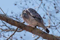 Pigeon colombin - 6938 (Luc TORRES) Tags: annecy auvergnerhônealpes columbidés columbiformes faune france hautesavoie lacdannecy nature oiseaux pays pigeoncolombin