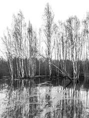 DSC_6720 (stefanh.varberg) Tags: 16mars oklången björk björkar landsbygd landskap sjö skogen spegling svartvit träd vatten översvämmning