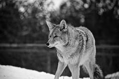 Coyote (bob august) Tags: 2019 2019©rpd'aoust animals animaux canada d90 fauneanimalière march mars montréal nikkor18300mm nikon nikond90 winter zoo zooecomuseum montréal québec noiretblanc bw blackwhite aperture3 hiver