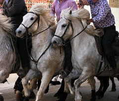 Traditions (Nadia (no awards please !)) Tags: taureaux bulls cheveaux horses traditions camargue abrivado bandido