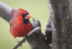 I See Red (The Barrel Steward) Tags: bird cardinal red avian march tree grass blackred critter nelsoncounty kentucky nikon d810