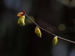 Corylopsis spicata (Spike winter hazel,トサミズキ, 土佐水木) (Greg Peterson in Japan) Tags: shiga japan flowers yasu plants 滋賀県 野洲市 植物 花 近江富士花緑公園 shigaprefecture jpn