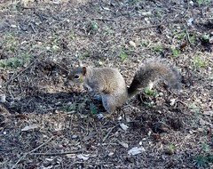 Squirrel. (jessica.aieta) Tags: like nature canon1300d canon photo pic squirrel