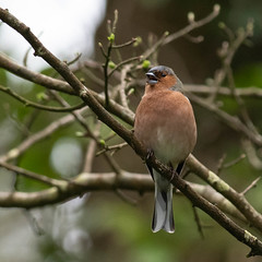 DSC_7596.jpg (dan.bailey1000) Tags: bird chaffinch wildlife donerailepark ireland cork