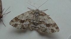 Engrailed (Ectropis crepuscularia) (Bruce Hurst aka Zincfreud) Tags: entomology moths lepidotera macromoths geometrids