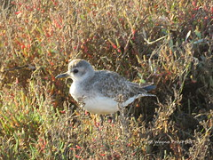 Grey Plover (Pluvialis squatarola) (Gerald (Wayne) Prout) Tags: greyplover pluvalissquatarola animalia chordata aves charadriiformes charadiidae pluvialis squatarola grey plover waterbirds bird birds animal animals fauna wildlife nature leastconcern migratory blackbelliedplover quintadolago riaformosanaturereserve riaformosa naturereserve algarve portugal prout geraldwayneprout canon canonpowershotsx60hs powershot sx60 hs digital camera photographed photography reserve conservation
