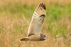 Owl series #8 (Trev Green) Tags: nikon sigma owl wirral bird parkgate d500