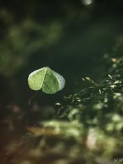 Sous bois printanier (imagene74) Tags: feuilles herbe macro trèfleetc sousbois