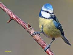 Herrerillo común  (Cyanistes caeruleus) (14) (eb3alfmiguel) Tags: aves pájaros insectívoros passeriformes paridae herrerillo común cyanistes caeruleus