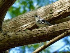 Black-and-white Warbler (Mniotilta varia) (WRFred) Tags: florida nature wildlife bird warbler tree