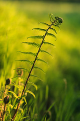 20180505-Canon EOS 6D-8590 (Bartek Rozanski) Tags: briscol luxembourg belgium ardennes belgie belgique ardennen spring fern closeup bokeh stem nature plant erezee