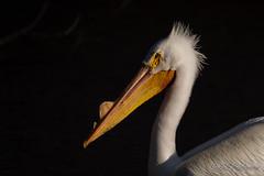 20190408-DSC_7420ext.jpg (GrandView Virtual, LLC - Bill Pohlmann) Tags: bird americanwhitepelican wisconsin wildlife waterfowl stcroixriver northhudsonwi