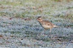 Woodlark (drbut) Tags: woodlark lullulaarborea fields grass larks schedule1 bird birds wildlife nature