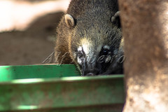Alf Ribeiro 0277-33 (Alf Ribeiro) Tags: animal brazil brazilian closeup fauna red adorable america american animals background bear biodiversity brown carnivore coati creature cute domestic ecology face forest fur furry green jungle latin life mammal mammalia nasua natural nature nose outdoor park portrait quati rainforest ring ringtailed south tail tailed tropical white wild wildlife young zoo