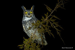 King of the night (Earl Reinink) Tags: owl raptor bird animal greathornedowl outdoors night tree eyes earl reinink earlreinink king aetdhdadea