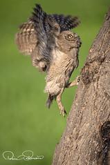 _GUL3421s (TARIQ HAMEED SULEMANI) Tags: sulemani tariq tourism trekking tariqhameedsulemani winter wildlife wild birds nature nikon