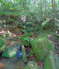 Rainforest_4 (Tony Markham) Tags: missinghamsteps budderoonationalpark kangarooriver wet slippery steep dangerous rainforest fungi fungus pleurotus