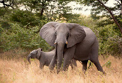Mama and Baby _5240-2 (hkoons) Tags: southernafrica africa african namibia tree growth plants vegetation elephant pachyderm animal beast mamal tusks trunk ears grazing outdoors sunshine jungle