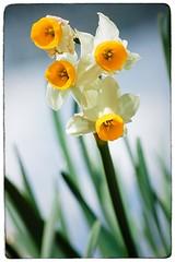 Narcissus (Alex . Wendes) Tags: narcissus flower flowermacro macro tamron90mmmacro d50 nikond50 tamron90mm
