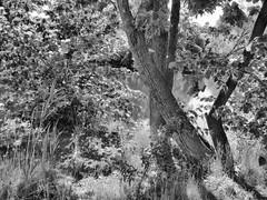(mahler9) Tags: jaym july 2016 bw blackwhite blackandwhite monochrome tree rockport