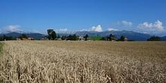 DSC05654 (ursrüegsegger) Tags: linden juli august getreideernte bauernhöfe landschaft regenbogen