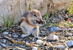 All mine (Monkeystyle3000) Tags: antelope squirrel desert animal eating