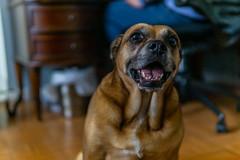 Doggo-1 (latinkidd98) Tags: a6000 sony sigma prime crop apsc dogs animals goodboy goodboi doggo dog portrait portraits headshot headshots photoshoot photoshoots