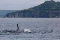 Fin Whale Breaks The Surface (peterkelly) Tags: digital canon 6d northamerica canada newfoundlandlabrador trinitybay finwhale whale shoreline shore coast coastline water