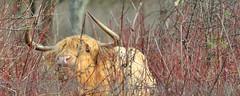Repéré ! Vache Highland (Bos taurus) au parc de la Haute-île, Neuilly-sur-Marne, France (olivier.amiaud) Tags: vache bovin bétail highlandcattle hauteîle cow corne animal pelouse arbre forêt champ mammifère arbuste ronce oeil cornes